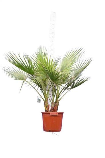 Washingtonia robusta Multitrunk - total height 130-150 cm - pot Ø 40 cm [pallet]