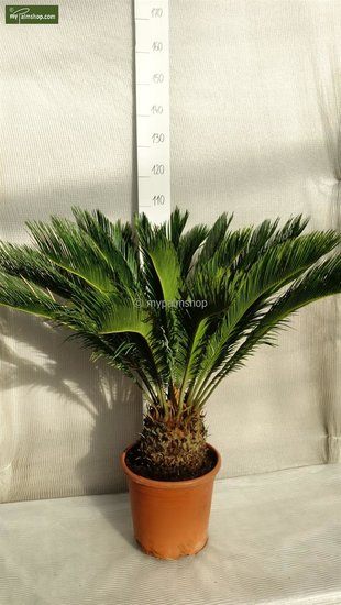 Cycas revoluta - trunk 20 cm - total heigth 55-65 cm - pot Ø 35cm [pallet]