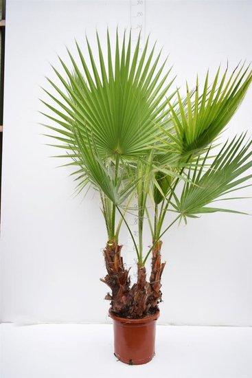 Washingtonia robusta Multitrunk - total height 140+ cm - pot Ø 35cm