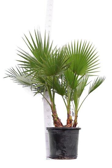Washingtonia robusta Multitrunk - total height 140-160 cm - pot Ø 45 cm [pallet]