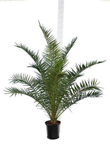 Phoenix canariensis - total height 140-170 cm - pot Ø 28 cm