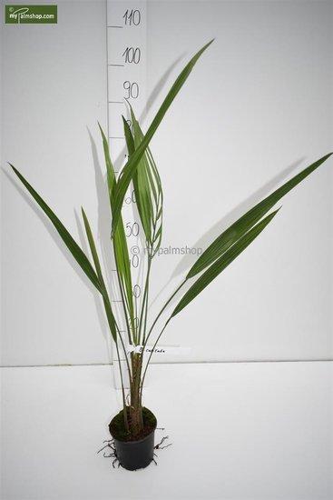 Butia capitata var. odorata - total height 30-40 cm - pot Ø 12 cm