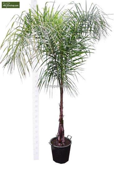 Syagrus romanzoffiana sp. Santa Catarina - trunk 60-80 cm - pot Ø 50 cm [pallet]