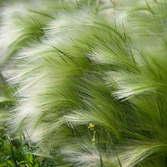 Stipa tenuissima Pony Tails - total height 45-55 cm - pot 2 ltr
