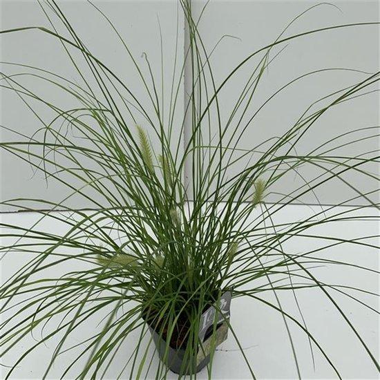Pennisetum alopecuroides Hameln Gold - pot 2 ltr