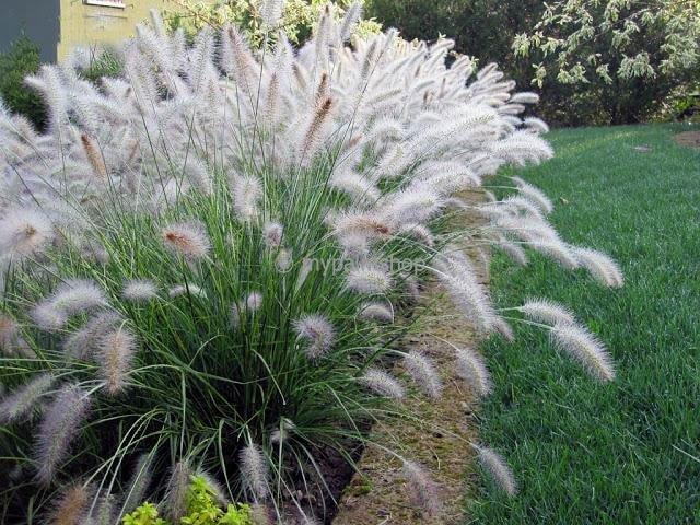 Pennisetum alopecuroides Hameln - total height 40-50 cm - pot 2 ltr