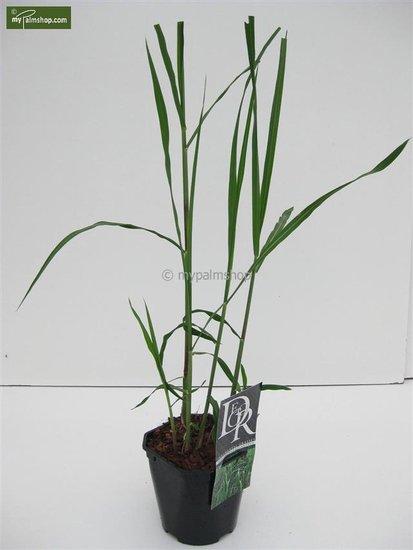 Miscanthus giganteus - pot 2 ltr