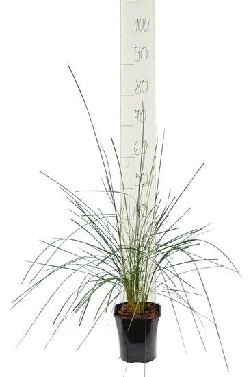 Muhlenbergia capillaris - pot 2 ltr
