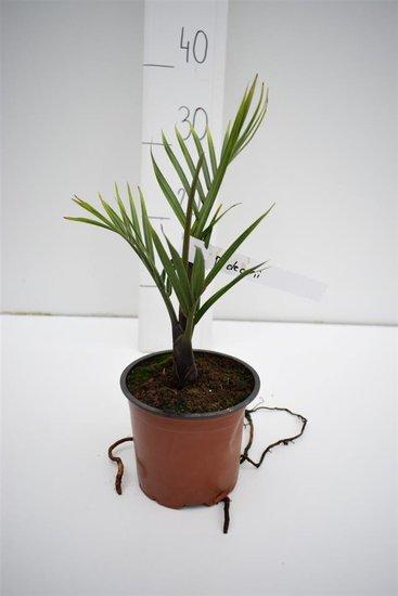 Dypsis decaryi - total height 30-40 cm - pot Ø 13 cm
