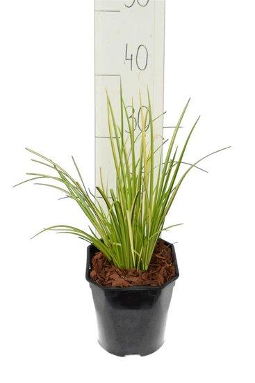 Acorus gramineus Ogon - total height 30-40 cm - pot 2 ltr