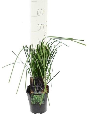 Deschampsia cespitosa Goldtau - total height 40-50 cm - pot 2 ltr