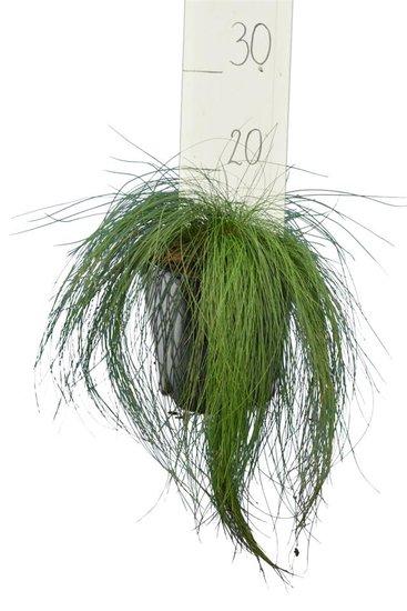 Festuca walberla - total height 25-35 cm - pot 2 ltr