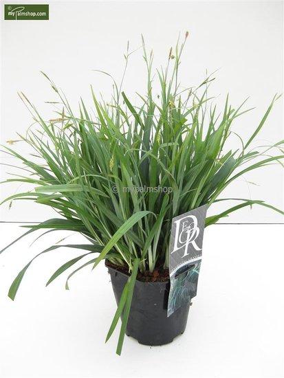 Carex laxiculmis Bunny Blue - total height 40-50 cm - pot 2 ltr