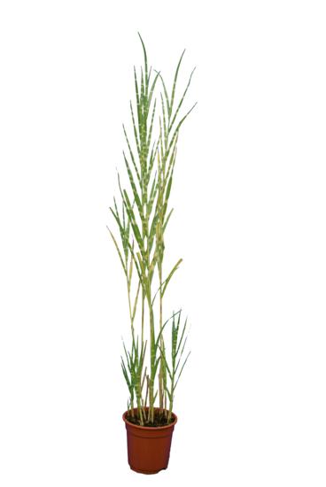 Miscanthus sinensis Strictus - total height 130-170 cm - pot Ø 17 cm