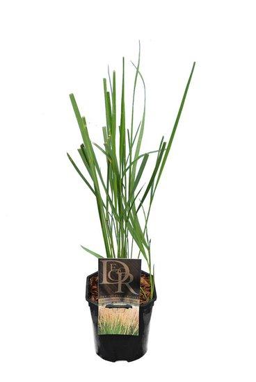 Calamagrostis acutiflora Karl Foerster - pot 2 ltr