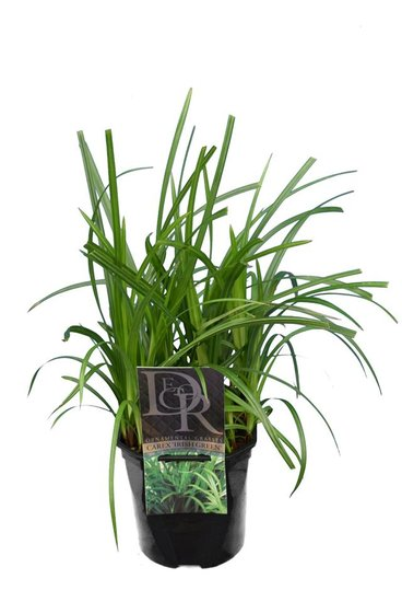 Carex foliosissima Irish Green - pot 2 ltr