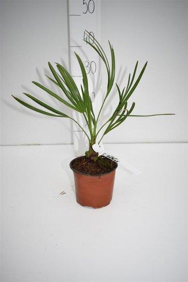 Serenoa repens - total height 20-30 cm - pot Ø 13 cm