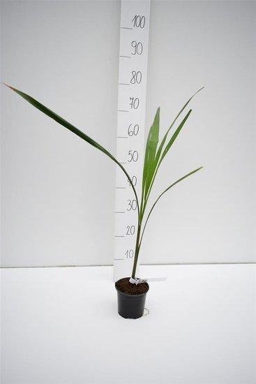 Roystonea regia - total height 60-80 cm - pot Ø 13 cm