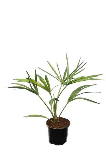 Livistona muelleri - total height 40-50 cm - pot 11 cm