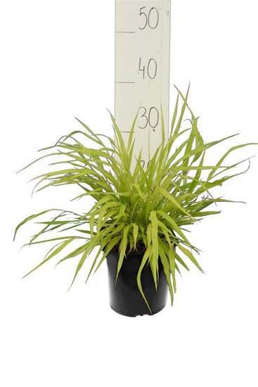 Hakonechloa macra Allgold - total height 30-40 cm - pot 2 ltr