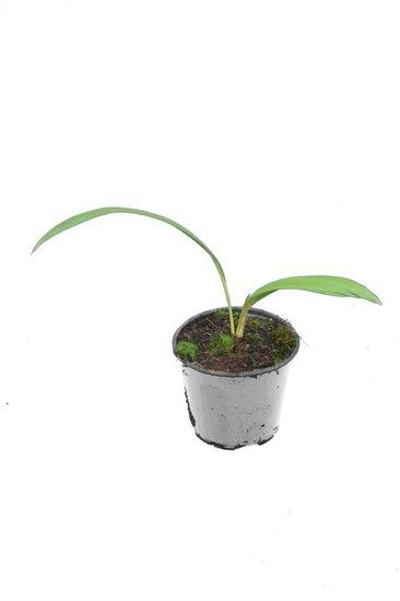 Livistona chinensis - total height 40-50 cm - pot Ø 13 cm