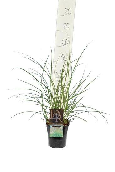 Miscanthus sinensis Kleine Silberspinne - pot 2 ltr