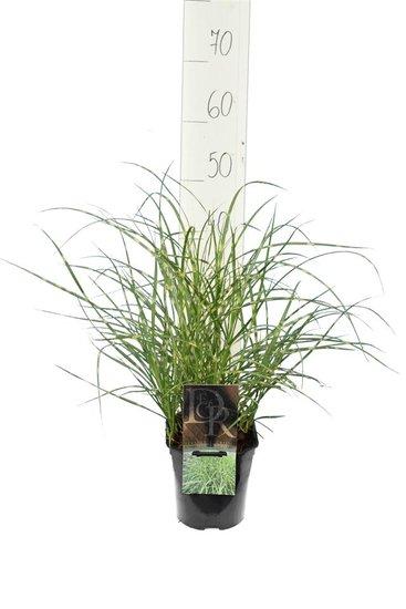 Miscanthus sinensis Little Zebra - pot 2 ltr