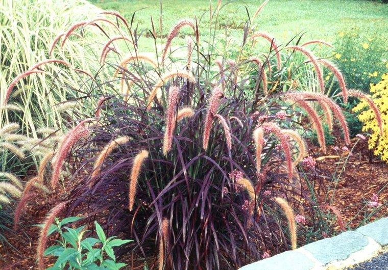 Pennisetum setaceum Rubrum Dwarf - total height 40-50 cm - pot 2 ltr