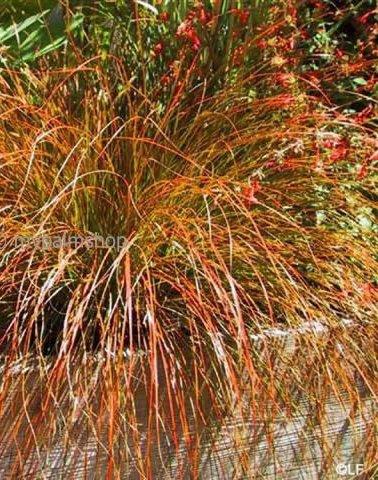 Carex testacea Prairie Fire - total height 40-50 cm - pot 2 ltr