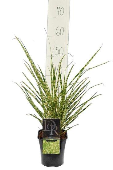 Miscanthus sinensis Gold Breeze - total height 55-65 cm - pot 2 ltr
