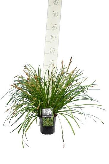 Carex Evergreen - total height 30-40 cm - pot 2 ltr