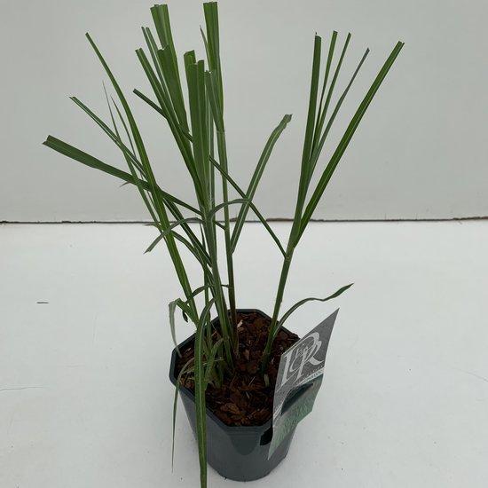 Miscanthus sinensis Malepartus - total height 50-90 cm - pot 2 ltr