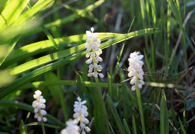 Liriope muscari Monroe White - total height 30-40 cm - pot 2 ltr