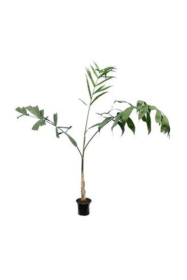 Chamaedorea microspadix - totale hoogte 100-120 cm - pot Ø 13 cm