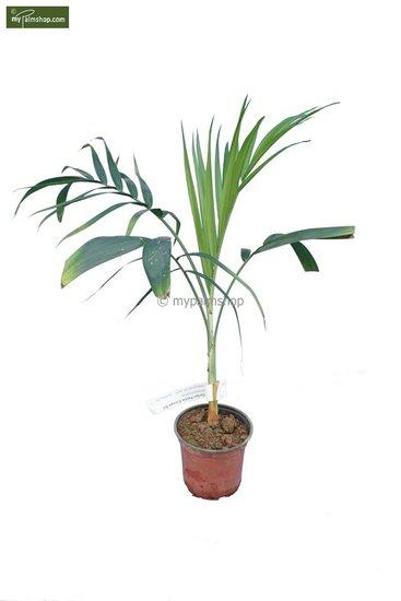 Chamaedorea radicalis - total height 40-50 cm -pot Ø 13 cm