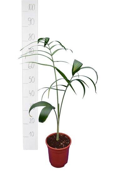 Chamaedorea radicalis - total height 80+ cm - pot Ø 13 cm