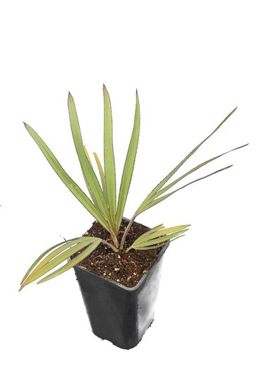 Latania lontaroides - total height 30-50 - pot 14 cm