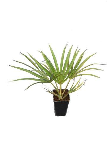 Latania verschaffeltii - total height 40-50 cm - pot 14 cm