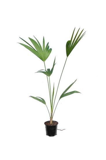 Thrinax parviflora -  total height 80-100 cm - pot Ø 12 cm