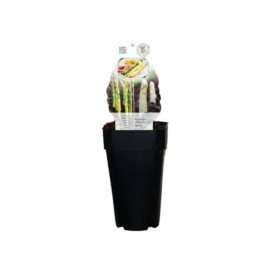 Asparagus gijnlim officinalis - total height 55-65 cm - pot 2 ltr