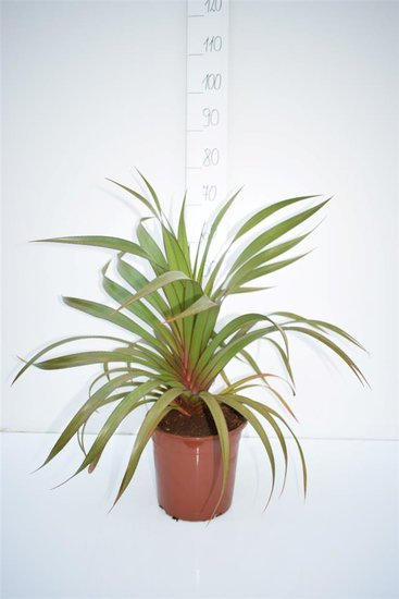 Pandanus utilis- total height 90-110 cm - pot Ø 24 cm