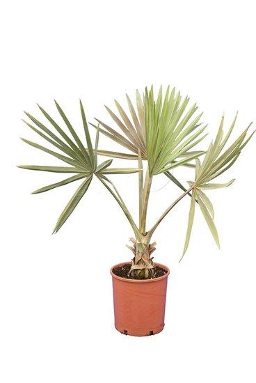Bismarckia nobilis - totale hoogte 100-120 cm - pot Ø 24 cm