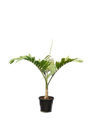 Chambeyronia macrocarpa - total height 150-170 cm - pot Ø 40 cm [pallet]