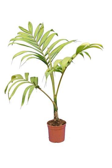 Chambeyronia macrocarpa - total height 100-1230 cm - pot Ø 20 cm