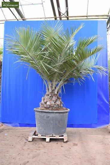 Jubaea chilensis - trunk 45+ cm - total height 250+ cm - pot 230 ltr  [pallet]