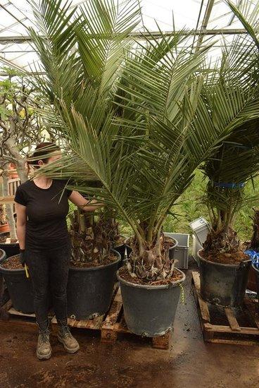 Jubaea chilensis - trunk 30-40 cm - total height 200+ cm - pot Ø 60 cm [pallet]