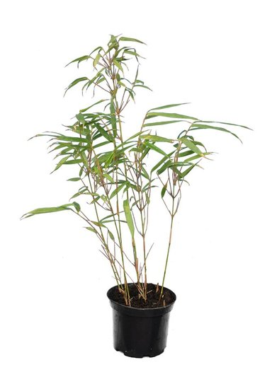 Fargesia rufa - total height 40-60 cm - pot 1 ltr