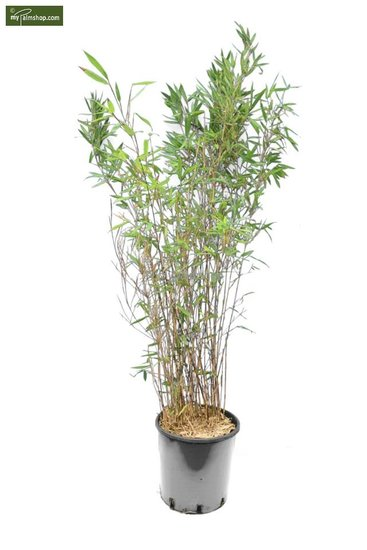 Fargesia Winter Joy - total height 120-150 cm - pot 10 ltr