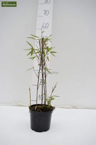 Fargesia Winter Joy - total height 40-60 cm - pot 1 ltr
