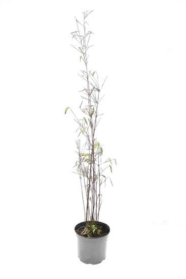 Fargesia jiuzhaigou - total height 40-60 cm - pot 1 ltr